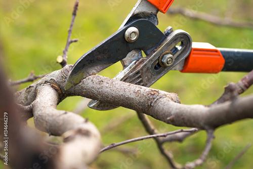 Fotografía gardener pruning fruit trees with pruning shears
