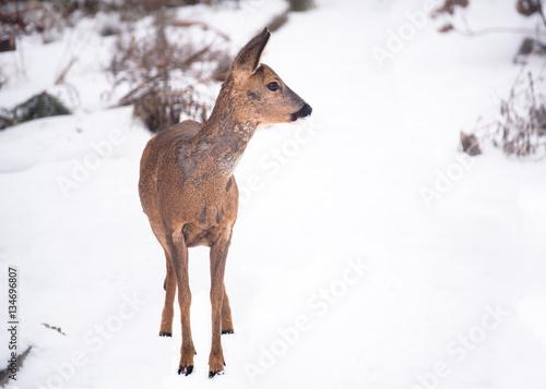 Fotobehang Ree wildes Reh auf Nahrungssuche im Winter