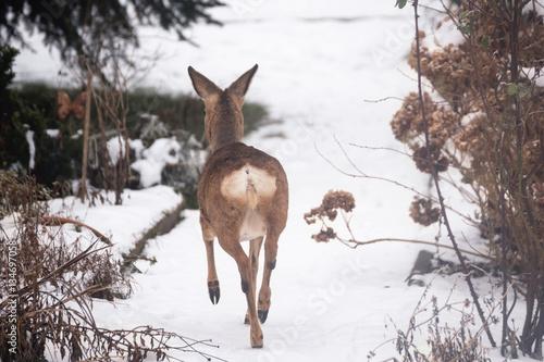 Fotobehang Ree wildes Reh im Garten auf der Flucht
