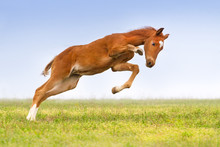Red Colt Jump And Play On The ...