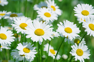 Obraz na SzkleSummer landscape with beautiful blooming daisies closeup