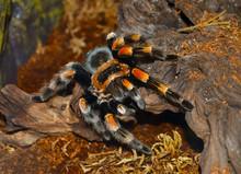Tarantula Spider. Yellow Legs ...