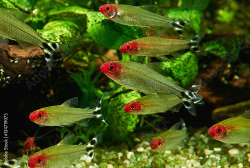 Poster Waterlelies Hemigrammus Rhodostomus in Freshwater Aquarium