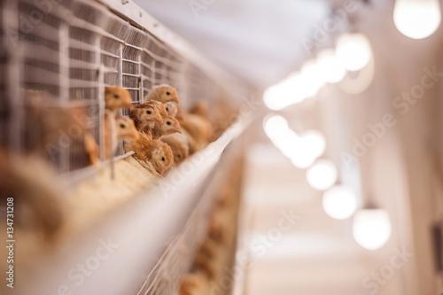 Baby chicken in poultry farm Fototapeta