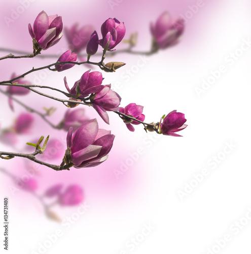 Obrazy Magnolie  kwitnaca-galaz-magnolii-magnolia-saucer-lub-magnolia-soulan
