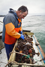 Fisherman Sorting Oysters On Boat Deck