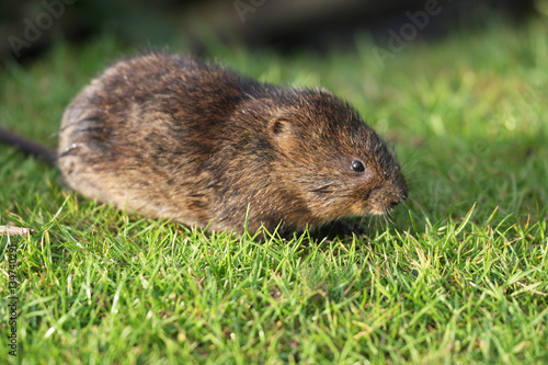 Fotomural  The European water vole or northern water vole, Arvicola amphibius, is a semiaquatic rodent
