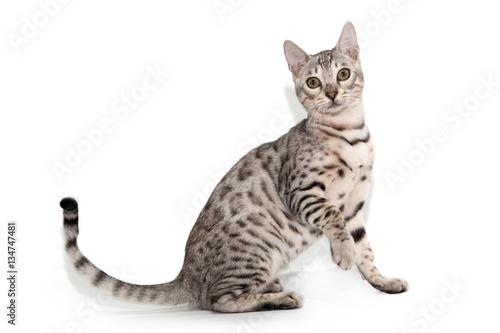 Photo  Bengal cat on white background
