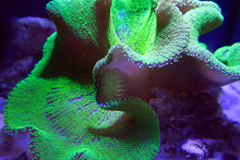 Ultra Neon Green Polyp Crown Leather Coral In Aquarium