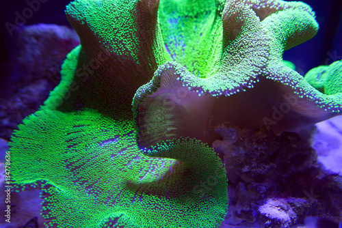 Fotobehang Onder water Ultra Neon Green polyp Crown Leather coral in aquarium