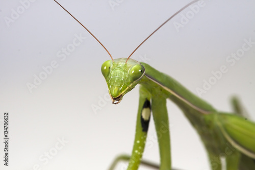 Fotografie, Obraz  The large female of the mantis