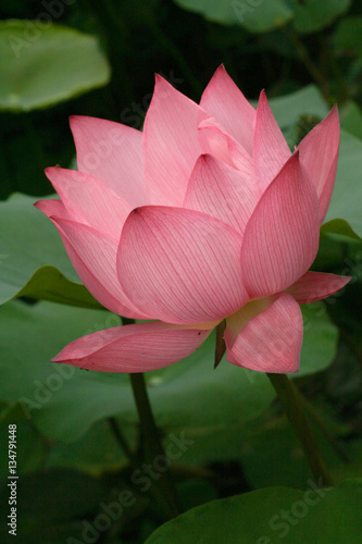 Bouton De Fleur De Lotus Buy This Stock Photo And Explore Similar