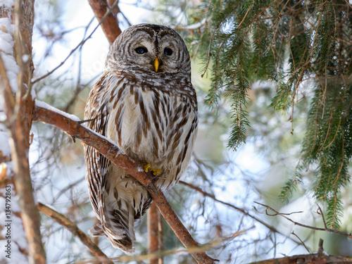 Keuken foto achterwand Uil Barred Owl Perched in Tree in Winter