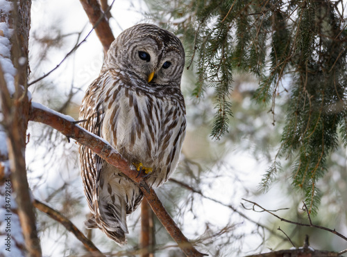 Keuken foto achterwand Uil Barred Owl Perched in Tree in Winter