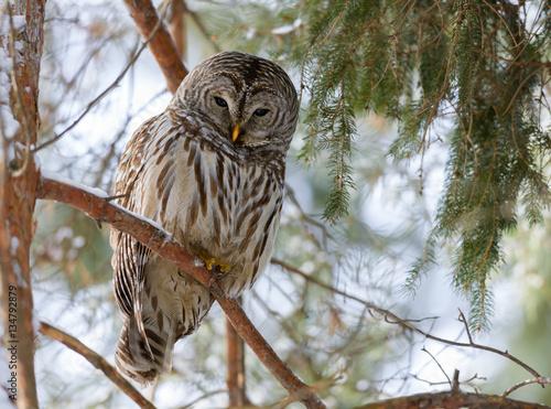 Keuken foto achterwand Uil Barred Owl in Winter