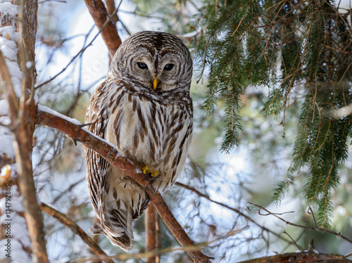 Keuken foto achterwand Uil Barred Owl in Winter