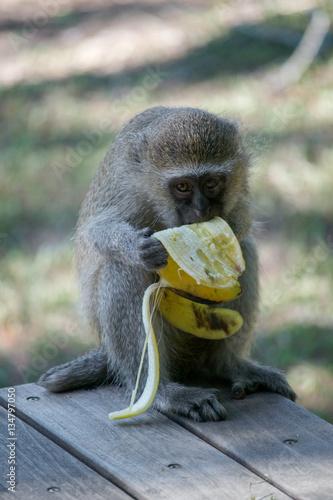 Fotografie, Obraz  Vervet monkey eating banana