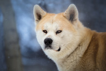 Hachiko - Japanese Dog Akita I...