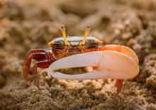 Uca Vocans, Fiddler Crab Walki...