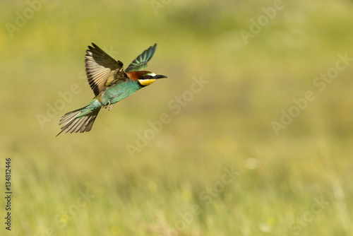 Foto European bee-eater. Merops apiaster