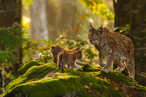 Photo Stands Lynx Luchs mit Jungen