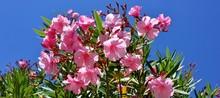 Beautiful, Pink Nerium Oleander Flowers,  Apocynaceae