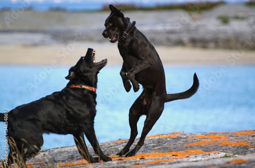 Fotografie, Obraz  Labradore bie heftigem Spiel