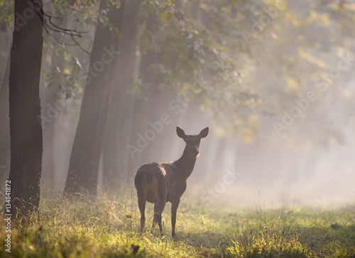 Photo  Hind in forest