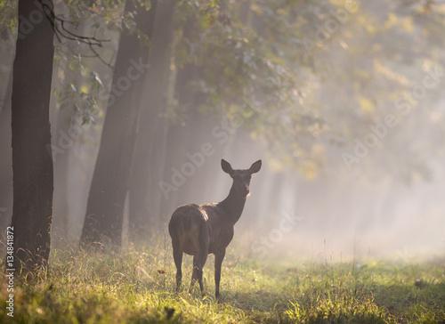Fotografia, Obraz  Hind in forest