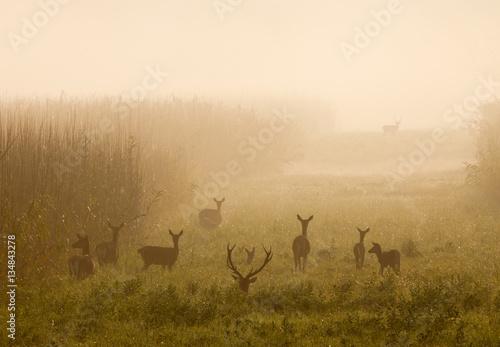 Fotografie, Tablou Red deer with hinds