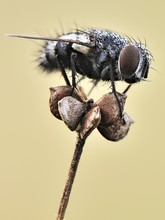 Fly On Dried Flower