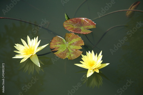 Poster de jardin Nénuphars Yellow lotus / yellow water lily