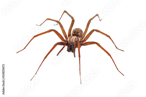 house spider on white
