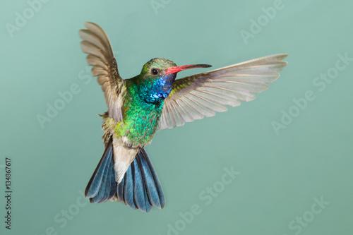 Broad-billed Hummingbird flying Poster