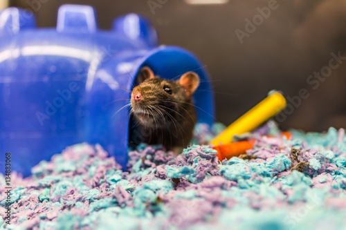 Fotografie, Obraz  Closeup of dark brown rat coming out of house in cage