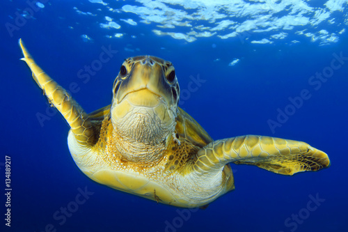 Poster Tortue Flying green turtle