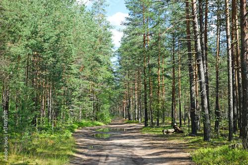 Deurstickers Berkbosje Forest road in a pine forest on a summer day under the blue sky