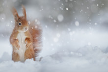 Adorable Red Squirrel In Winte...