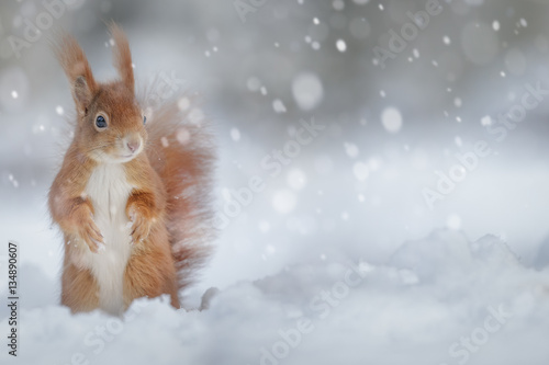 Photo sur Toile Squirrel Adorable red squirrel in winter snow