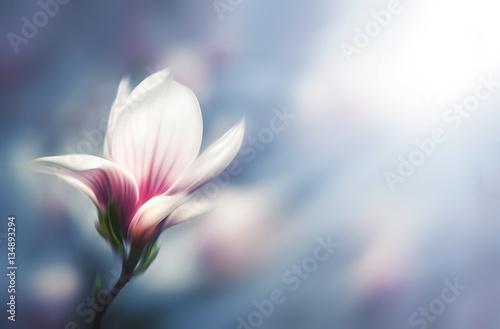 Foto auf AluDibond Magnolie Soft focus image of blossoming magnolia flowers in spring time.