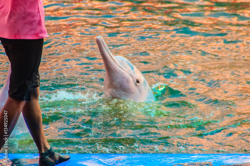 Spoed Foto op Canvas Dolfijn Cute Indo-Pacific humpback dolphin Sousa chinensis ,or Pink dolphin, or Chinese white dolphin is jumping and dancing shows in the swimming pool.