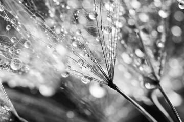 fototapeta nasiona mniszka w kroplach wody czarno biała