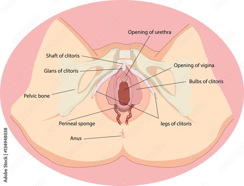 Vector Illustration Of Female Reproductive Organs Anatomy Foto