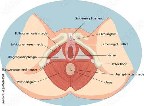 Fotografie, Obraz  Vector illustration of Female reproductive muscles anatomy