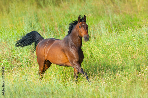 Foto op Canvas Paarden Bay stallion run gallop in green meadow