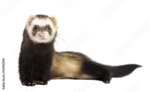 Fotografie, Obraz  Grey ferret in full growth lies, isolated on white background