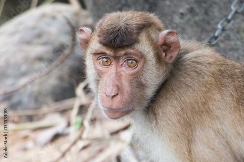 In de dag Monkey chained