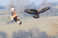 Comparison Of Red Kite (Milvus Milvus) And Buzzard (Buteo Buteo). Two Similarly Sized Birds Of Prey Seen In Flight With Undersides Visible; Digital Composite Of Two Images