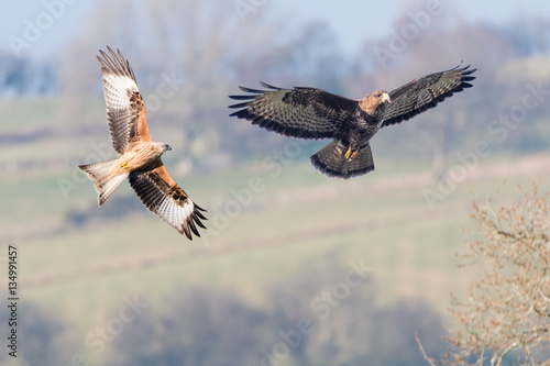 Comparison of red kite (Milvus milvus) and buzzard (Buteo buteo) Canvas Print