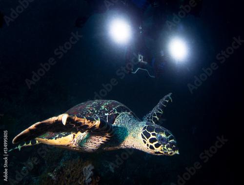 Fototapeta Turte and underwater cameraman. obraz na płótnie